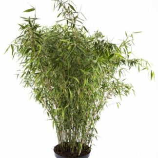 Bambus 'Tiny' 5 l.